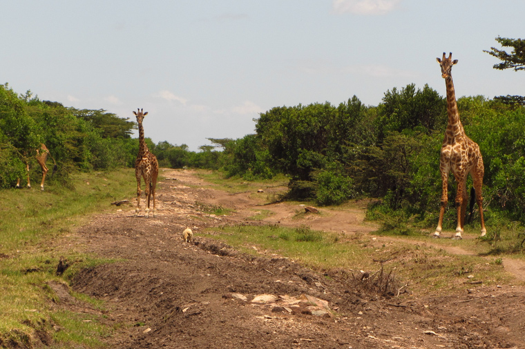 Giraffes, a surprise on our way