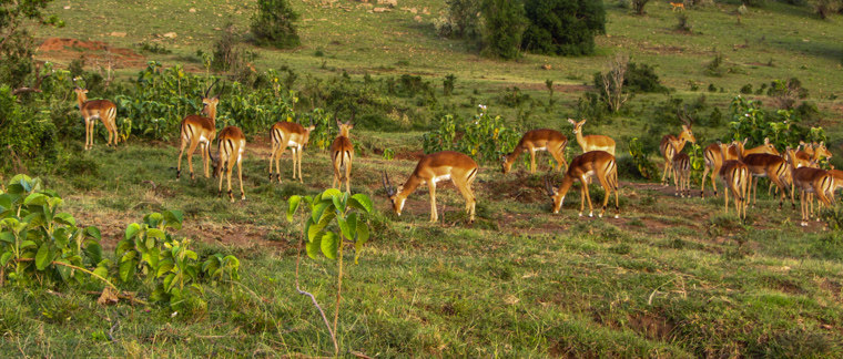 Impalas watching out for lions