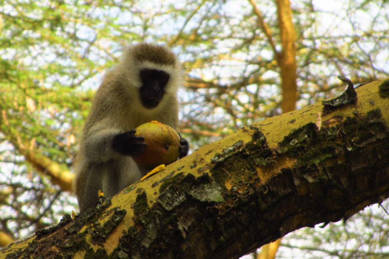 Monkey eating our mango