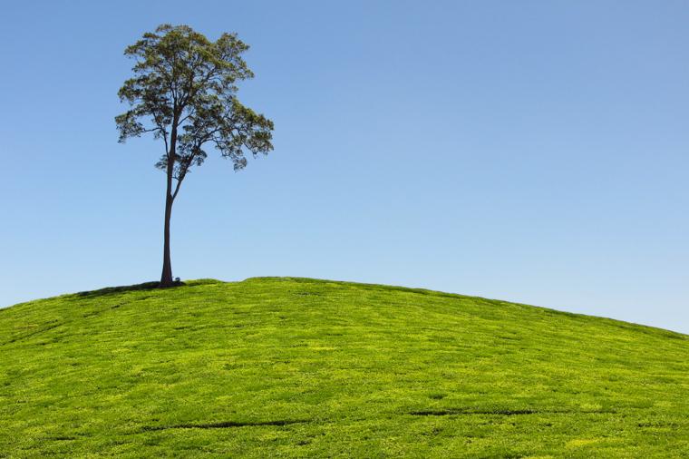 Samotne drzewo wśród herbaty
