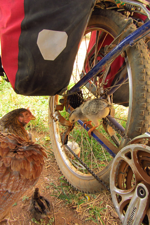 Hen, bike and chicken
