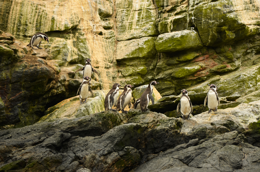 Humboldt penguins in Chile