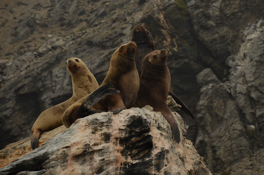 Sea lions in Reserva Nacional Pinguino Humboldt