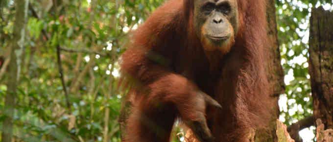 Hiking with Orangutans