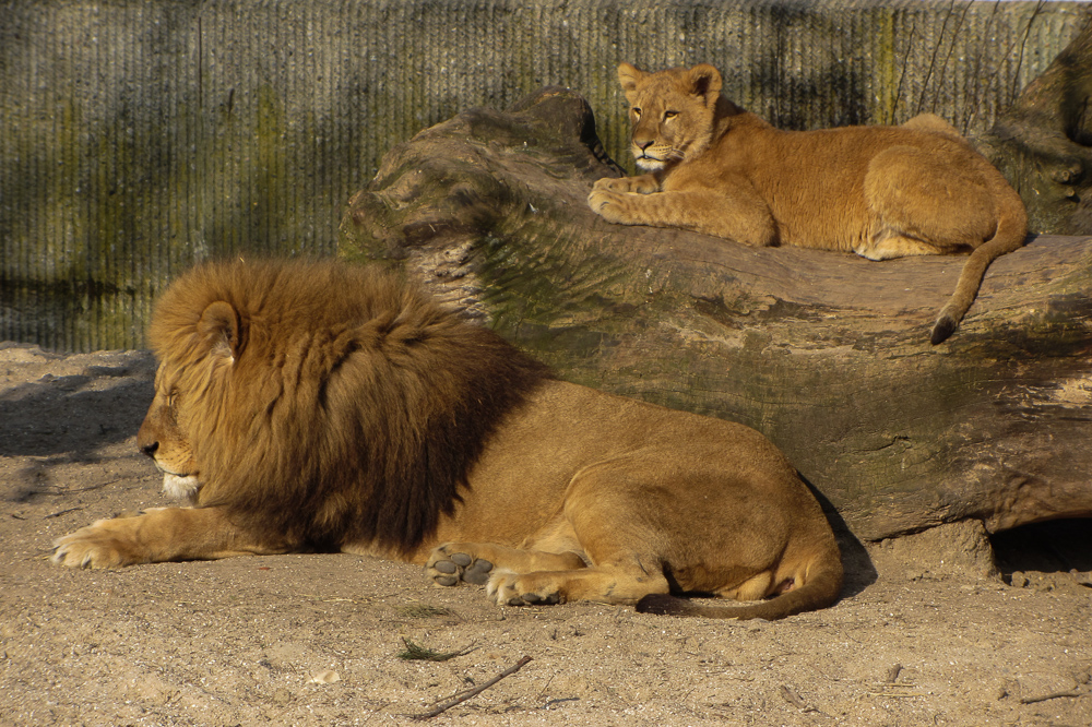 Lions in Copenhagen ZOO