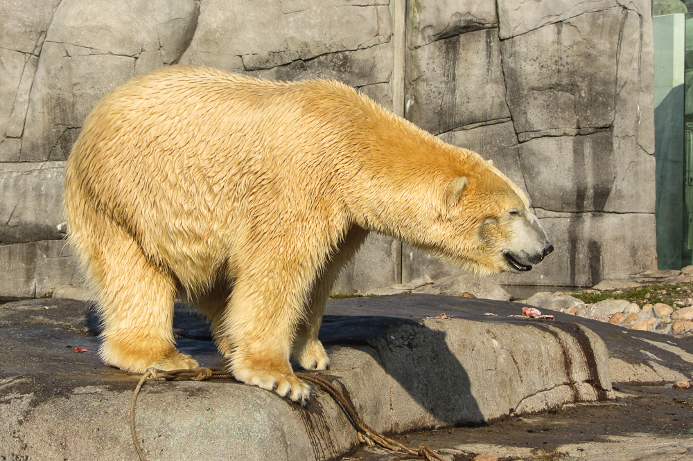 Poral Bear in Copenhagen ZOO