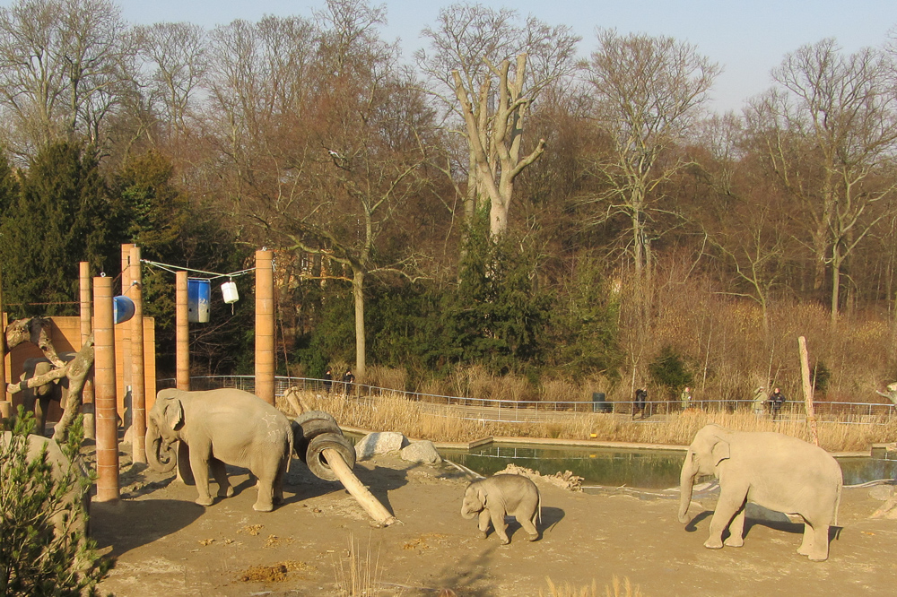 Elephants in Copenhagen ZOO