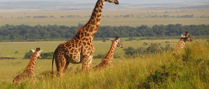 Masai Mara, animals without borders