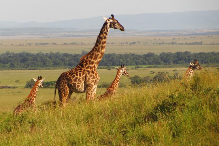 Masai Mara, zwierzęta bez granic